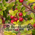 Small image of MYRTUS