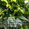 NANDINA domestica 'Lemon-Lime'