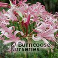 Photo of NERINE bowdenii