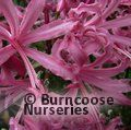 Photo of NERINE bowdenii 'Pink Triumph'