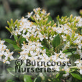 Small image of OLEARIA