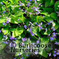 Small image of OMPHALODES