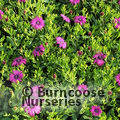 Small image of OSTEOSPERMUM