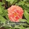 PAEONIA suffruticosa orange