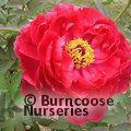 PAEONIA suffruticosa red