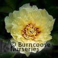 PAEONIA suffruticosa yellow