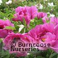 PAEONIA suffruticosa purple
