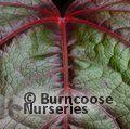 PARTHENOCISSUS tricuspidata 'Green Spring'