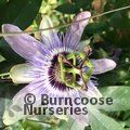PASSIFLORA 'Betty Myles Young'