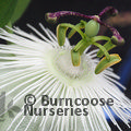 PASSIFLORA 'Snow Queen'