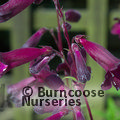 PENSTEMON 'Blackbird'