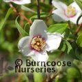 PHILADELPHUS maculatus 'Mexican Jewel'