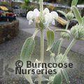 Photo of PHLOMIS purpurea 'Alba'