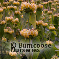 Photo of PHLOMIS russeliana