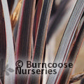 PHORMIUM 'Back in Black'
