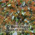 PHOTINIA beauverdiana var notabilis