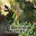 Small image of PILGERODENDRON