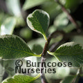 PITTOSPORUM tenuifolium 'Silver Magic'
