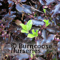 Photo of PITTOSPORUM tenuifolium 'Tom Thumb'