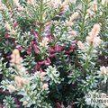 Podocarpus nivilis 'Kilworth Cream'