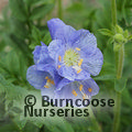 Small image of POLEMONIUM
