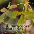 POLYLEPIS australis