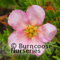 POTENTILLA fruticosa 'New Dawn'