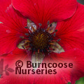 Photo of POTENTILLA 'Gibson's Scarlet'