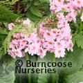 PRIMULA japonica 'Apple Blossom'
