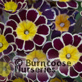 PRIMULA 'Gold Laced'