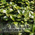 Small image of PRIVET - see LIGUSTRUM