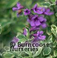 Small image of PROSTANTHERA