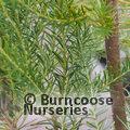 PROTEA Banksia ericifolia