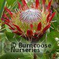 PROTEA Protea cynaroides