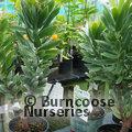 PROTEA Leucadendron argenteum
