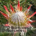 PROTEA Protea 'Pink Crown'