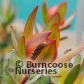 PROTEA Leucadendron 'Safari Sunset'
