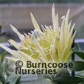 PROTEA Protea cynaroides 'White King'