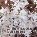 Photo of PRUNUS 'Matsumae-fuki'
