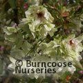 Small image of PRUNUS