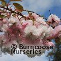 Photo of PRUNUS 'Matsumae-hanagasa'