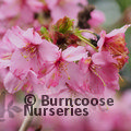 Photo of PRUNUS 'Shosar'