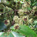Small image of PSEUDOPANAX