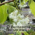 Small image of PTEROSTYRAX