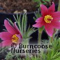 Small image of PULSATILLA
