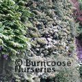 Small image of PYRACANTHA