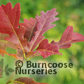 QUERCUS x warei 'Chimney Fire'