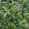 Small image of QUERCUS