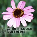 Small image of RHODANTHEMUM