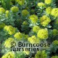Small image of RHODIOLA